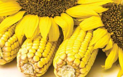 Открит ден на царевицата и слънчогледа